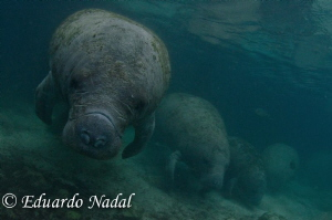 manatee by Eduardo Nadal