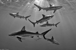 7 Carcharhinus perezi_(corrected thanks to editor's advice) by Mathieu Foulquié