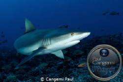 Grey shark of Rangiroa, Tuamotus. Eos 7D, Hugyfot Housing... by Cangemi Paul