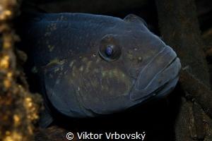 Round Goby - Neogobius melanostomus by Viktor Vrbovský