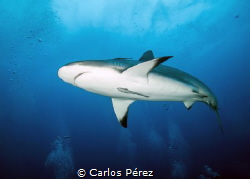 Caribbean Reef Shark Dive by Carlos Pérez