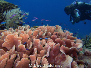 Roatan Marine Park, coral scene with diver. by David Gilchrist