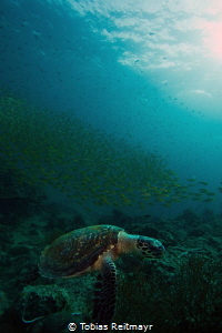 Hawksbill turtle, early morning at Finger Reef, Bida Nok by Tobias Reitmayr