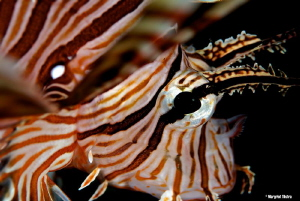 Graceful Lion Fish Nikon D80, Ikelite housing + two Ikel... by Margriet Tilstra