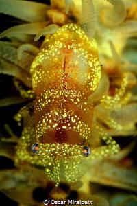 Whip coral shrimp by Oscar Miralpeix
