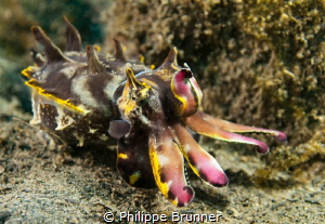 Flamming cuttlefish by Philippe Brunner