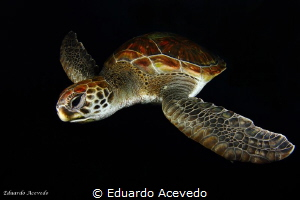 Green turtle at Tenerife Island. by Eduardo Acevedo