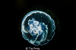 Moon Jelly at Tyee Cove by Tig Fong