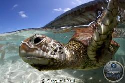 Green turtle, Bora bora lagoon, Canon eos 7D, Hugyfot Hou... by Cangemi Paul
