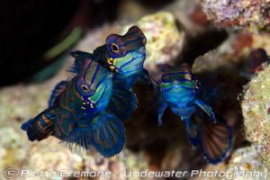 Mandarin fish threesome by Pietro Cremone