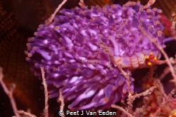 Colourful Carpet worm by Peet J Van Eeden