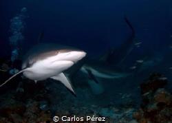 So close than can feel the action. Shark feeding with the... by Carlos Pérez