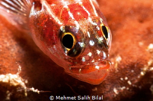 Goby with the eggs in its mouth. by Mehmet Salih Bilal