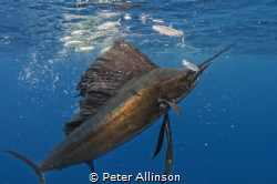 Sailfish run about 30-40 miles off the coast of Isla de M... by Peter Allinson
