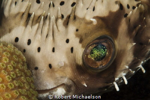 Typically shy burr fish taken at Something Special in Bon... by Robert Michaelson