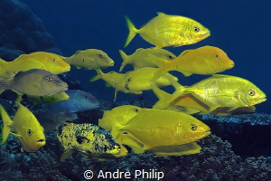 Yellow on Blue - a mixed group of yellow trevallys and go... by Andre Philip