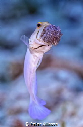 Yellow headed Jawfish with eggs photo taken off the coast... by Peter Allinson