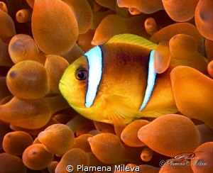 Two-Banded Clownfish & anemone by Plamena Mileva