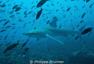 Galapagos shark   2.5 / 3 Mts by Philippe Brunner