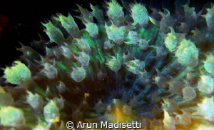 Warty Corallimorph close up.  SeaLife DC1400 and 8x diop... by Arun Madisetti