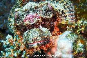 Scorpionfishe by Plamena Mileva