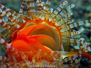 Banded Fileclam (Limaria sp.) by Uwe Schmolke