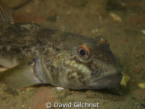 Niagara River Round Goby Portrait by David Gilchrist