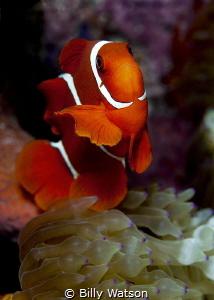 Spinecheek Anemonefish -- Amphiprion biaculatus by Billy Watson