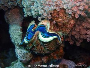 Still life with Tridacna gigas by Plamena Mileva