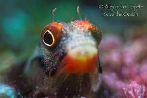 Blenny with Pink, Acapulco Mexico by Alejandro Topete