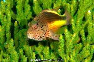 An hawkfish in green. by Mehmet Salih Bilal