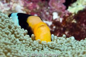 Clark's Anemonefish hiding, Shark Fins Reef, Similans by Tobias Reitmayr