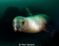 A portrait of a Sea Lion! Canon T2I with Tokina 10-17mm t... by Marc Damant