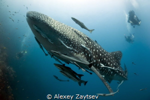 Whale shark. Nikon D700, Sigma 15 mm, Мagic filter. by Alexey Zaytsev