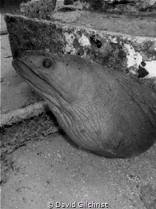 Resident Eel, El Aguila Wreck. I believe this one has pas... by David Gilchrist
