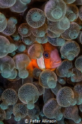 Clownfish swimming in an anemone by Peter Allinson