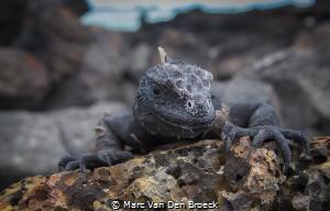 marine iguana by Marc Van Den Broeck