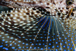 "The vibrant ""wing"" of the flying gurnard by Shane Gross"