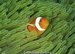 Clownfish Nikon D800e ,105 macro , twin strobo Gangga i... by Marchione Giacomo
