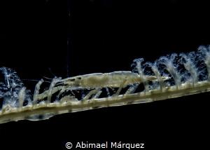 Wire Coral Shrimp, Backlighting. by Abimael Márquez