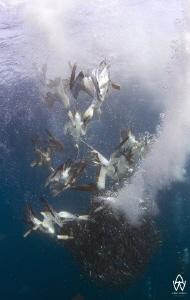 Gannets diving and swimming down to feast on a bait ball ... by Allen Walker