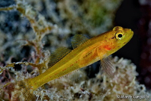 Gold Goby by Marco Gargiulo
