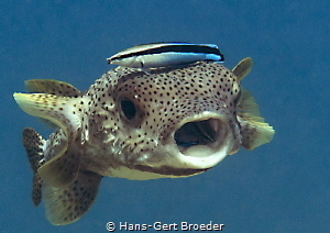 Porcupinefish Don't eat your cleanerfish by Hans-Gert Broeder