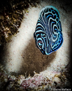Juvenile Emperor Angelfish by Elaine Wallace