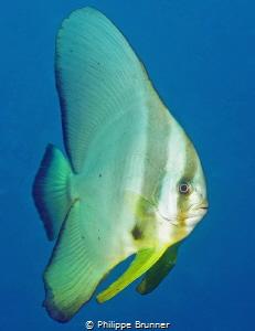 Portrait of batfish by Philippe Brunner