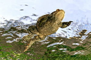 Bufo bufo_swimming by Mathieu Foulquié