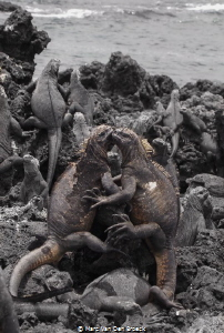 marine iguana love is in the air by Marc Van Den Broeck