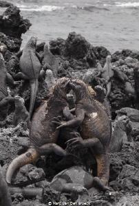 marine iguana love is in the air by Marc Van Den Broeck