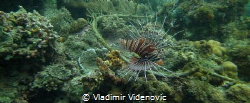 Lion fish in the Coral Gardens near Porto Galera by Vladimir Videnovic
