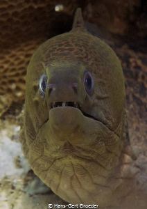 Moray Eel by Hans-Gert Broeder
